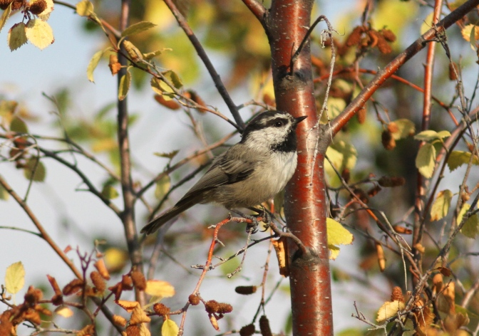 Mountain Chickadee jhj33.JPG
