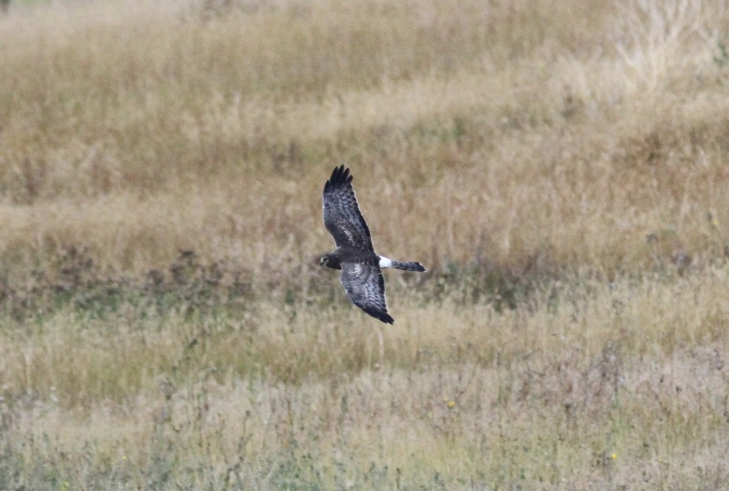 Northern Harrier hbhgjh3
