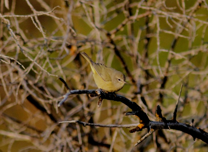 Orange-crowned Warbler kk3.JPG
