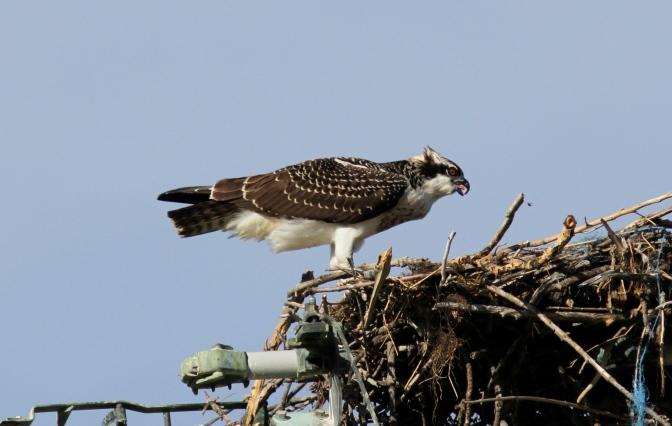 Osprey gh3