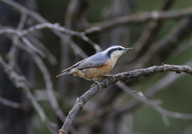 REd-breasted Nuthatch bhhjk3.JPG