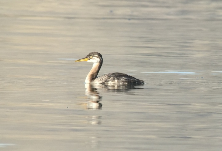 Red-necked Grebe khg4