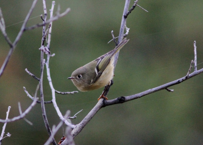 Ruby-crowned Kinglet hh3.JPG