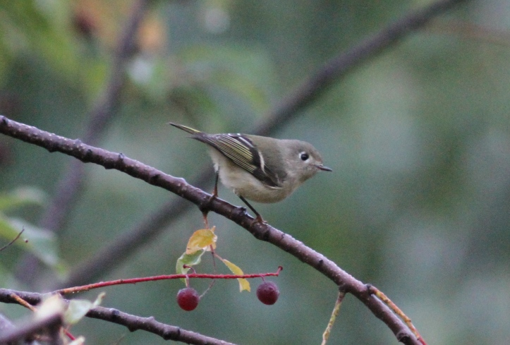 Ruby-crowned Kinglet hjj3.JPG