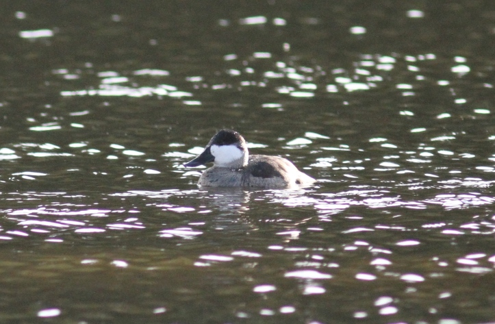 Ruddy Duck gggf3.JPG