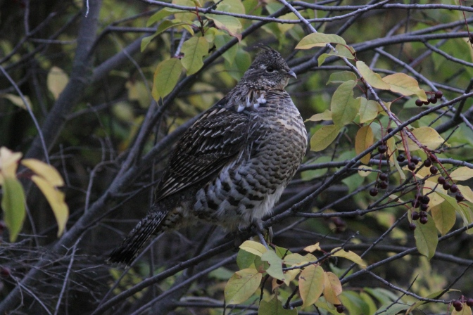 Ruffed Grouse hj3gg.JPG