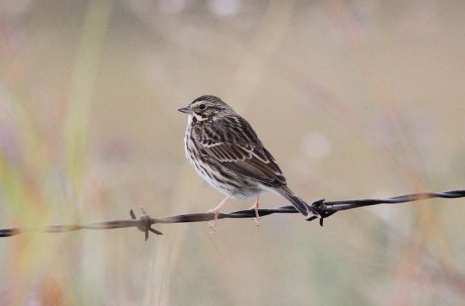 Savanah Sparrow hhj3