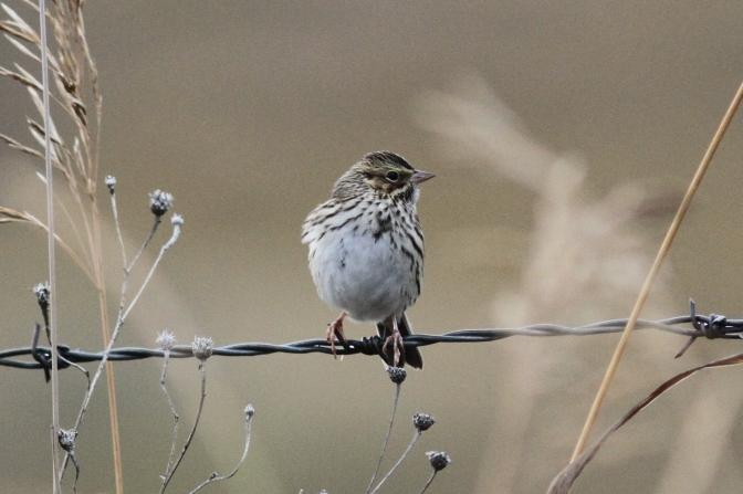 Savanah Sparrow kkk3