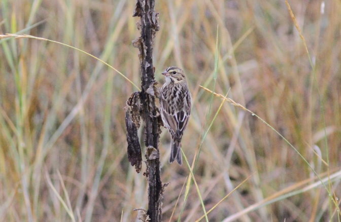 Savannah Sparrow fggfgf3.JPG