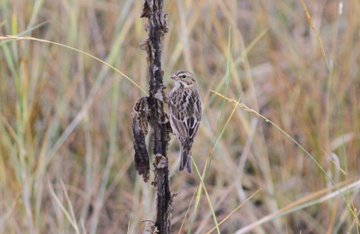 Savannah Sparrow fggfgf3.JPG
