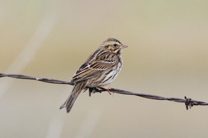 Savannah Sparrow hh4