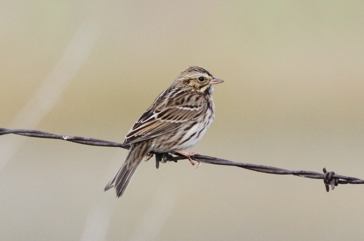 Savannah Sparrow hh4