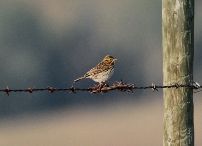 Savannah Sparrow hhk3