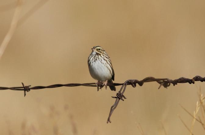 Savannah Sparrow jhkh3
