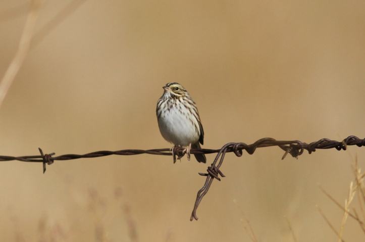Savannah Sparrow jhkh3
