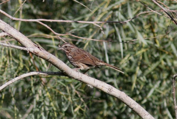 Song Sparrow k3.JPG