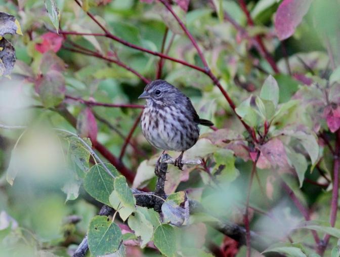 Song Sparrow kk3.JPG