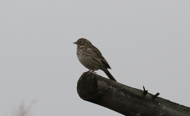 Vesper Sparrow ghh3.JPG