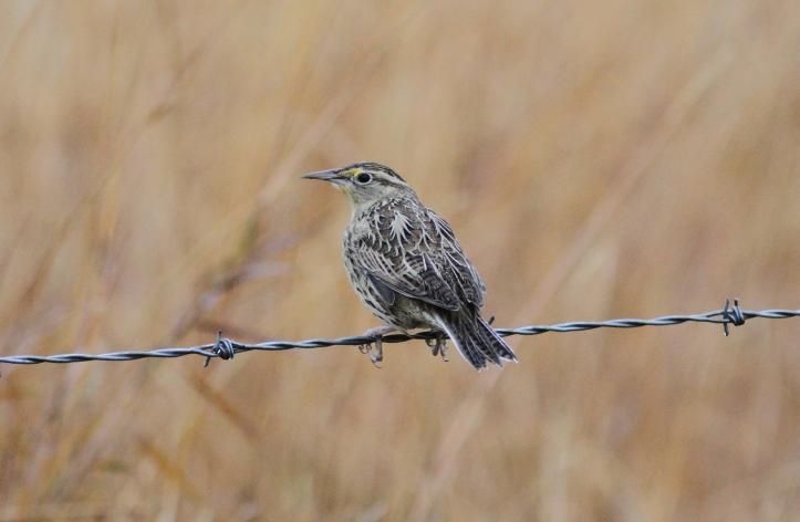 Western Meadowlark hh3.JPG