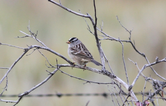 White-crowned Sparrow hghj3