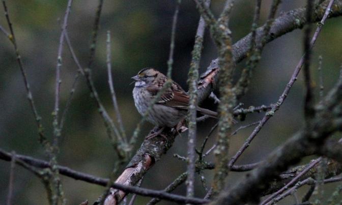 White-throated Sparrow hk3.JPG