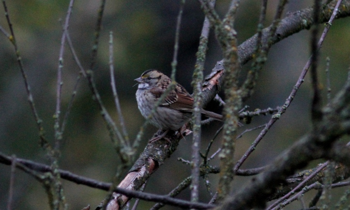 White-throated Sparrow hk3.JPG