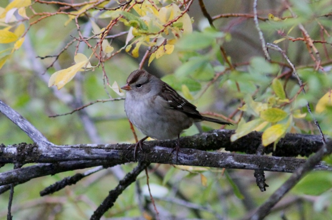 White=crowned Sparrow hhj3