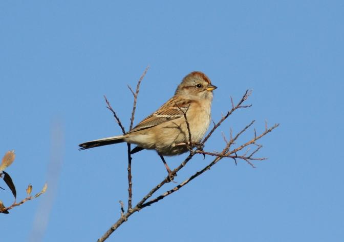 American Tree Sparrow grrr.JPG