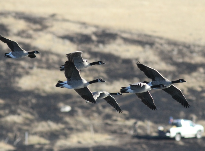 Canada Goose hhkkh3.JPG