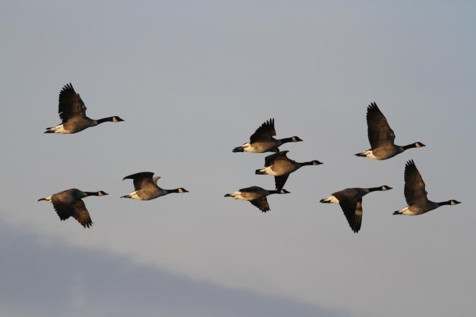 Canada Goose kjkj3.JPG