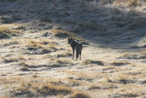 Coyote ghjh3
