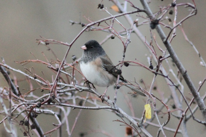 Dark-eyed Junco bhkhkhb3.JPG