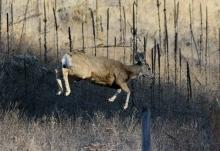 Mule Deer 2