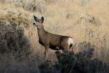 Mule Deer hgh3