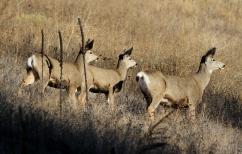 Mule Deer hhkk3