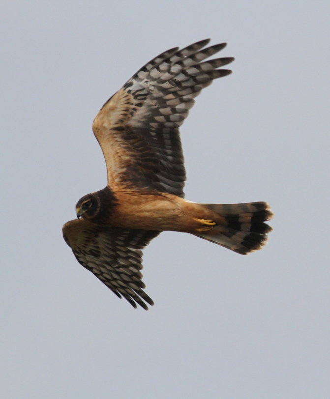 Northern harrier ghjjg3.JPG