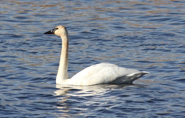 Trumpeter Swan jkk3