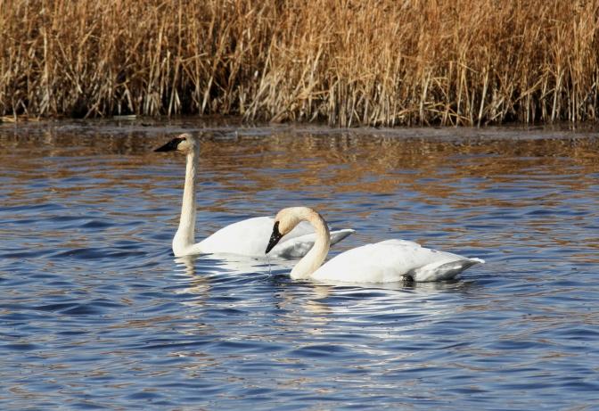Trumpeter Swan kjjk3