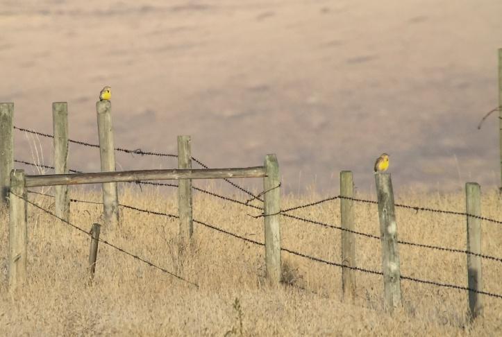 Western Meadowlark gheere