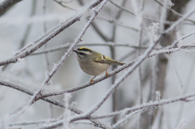 Golden-crowned Kinglet hjhk3
