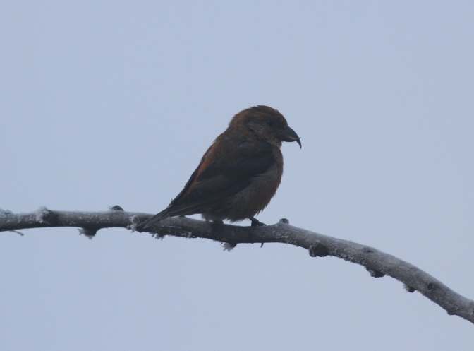 Red Crossbill hj2