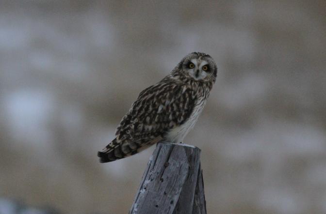Short-eared Owl bnbhh3