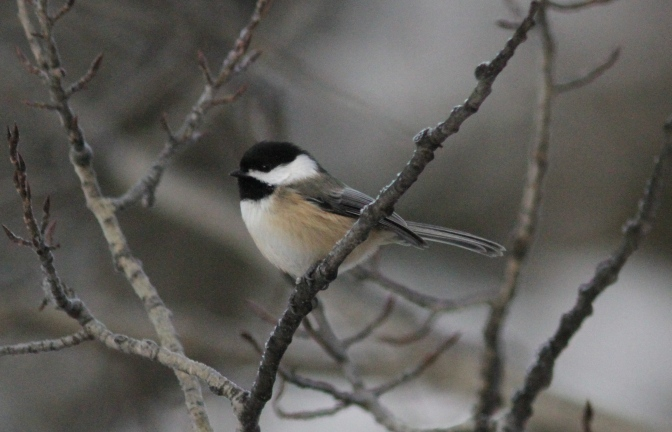 Black-capped Chickadee hjk3.JPG