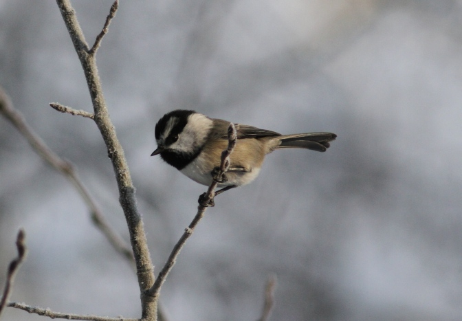 Mountain Chickadee hj3.JPG