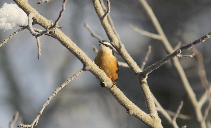 Red-breasted Nuthatch kh3.JPG