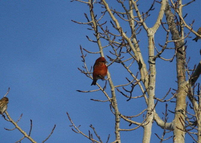 Red Crossbill kk3.JPG