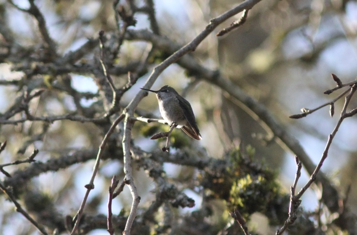 Anna's Hummingbird gfgf3.JPG