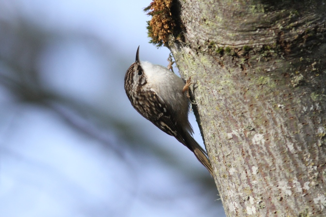 Brown Creeper bghh3.JPG
