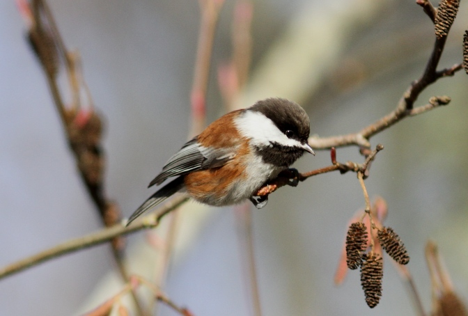 Chestnut-backed Chickadee hk33.JPG