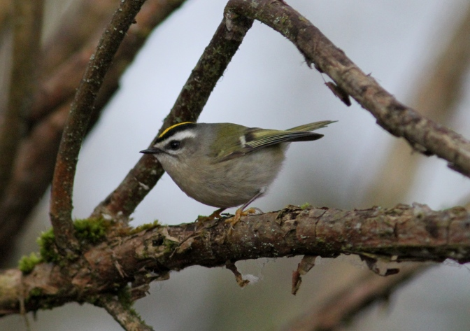 Golden-crowned Kinglet bhhk3.JPG